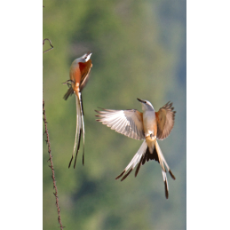 Scissor Tailed Flycatcher