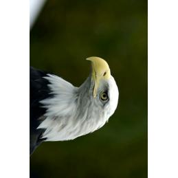 Eagle Hunting Tag