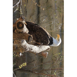 Bald Eagle Hunter Tag