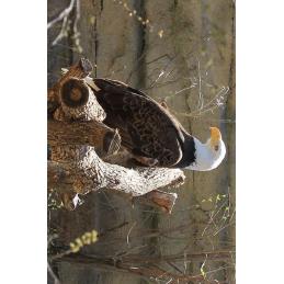 Bald Eagle Hunter Tag
