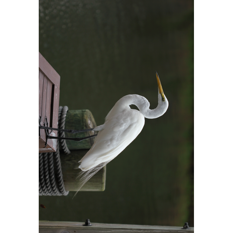 Great Egret Hunting Tag
