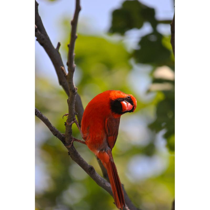 Cardinal Hunter Tag