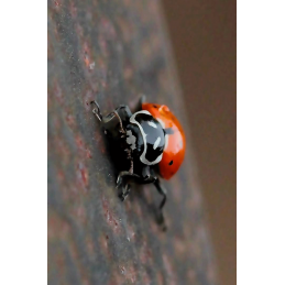 Lady Bug Hunt Tag